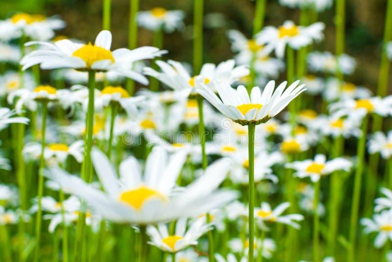 在一个绿色草甸的美丽的开花的延命菊日出的 图库摄影