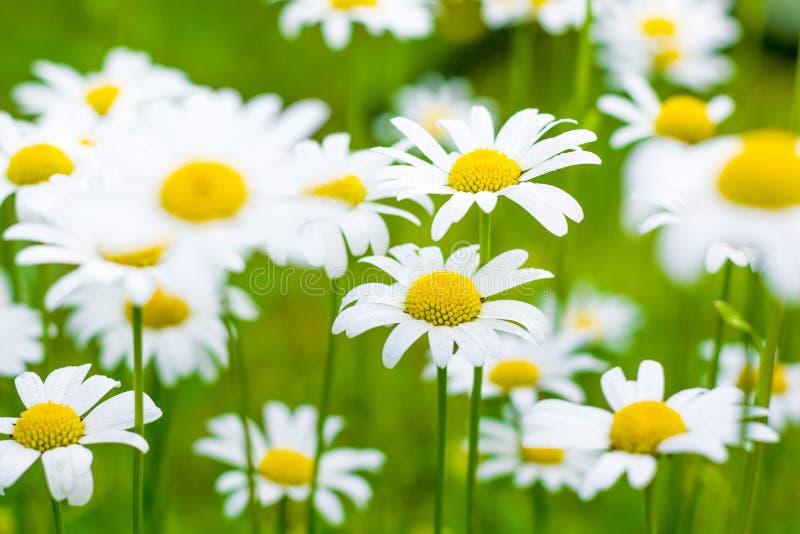 在一个绿色草甸的美丽的开花的延命菊日出的 库存图片