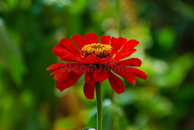 在一个绿色草甸的背景的红色花 免版税库存图片