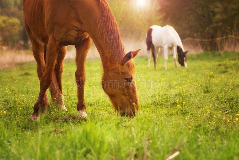 在一个绿色草甸的马 免版税库存照片