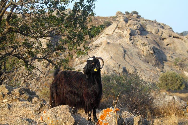在一个绿色草甸的黑山羊有野花的 吃草在牧场地和调查照相机的好奇山羊画象, 免版税库存图片