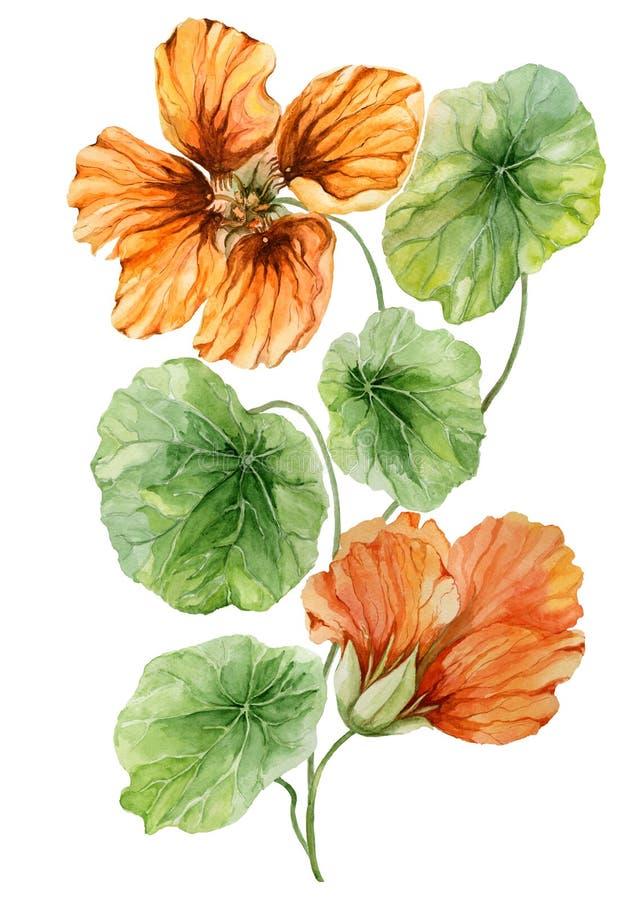 在一个绿色词根的美好的橙色金莲花花鼻子扭转者与叶子 背景查出的白色 多孔黏土更正高绘画photoshop非常质量扫描水彩 向量例证