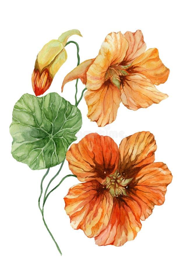 在一个绿色词根的美好的橙色金莲花花鼻子扭转者与叶子 背景查出的白色 多孔黏土更正高绘画photoshop非常质量扫描水彩 库存例证