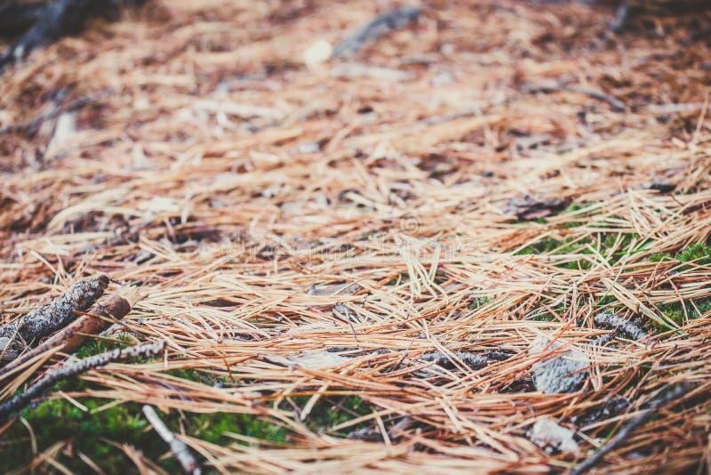 在一个绿色青苔的具球果针在雪松树丛里 库存图片
