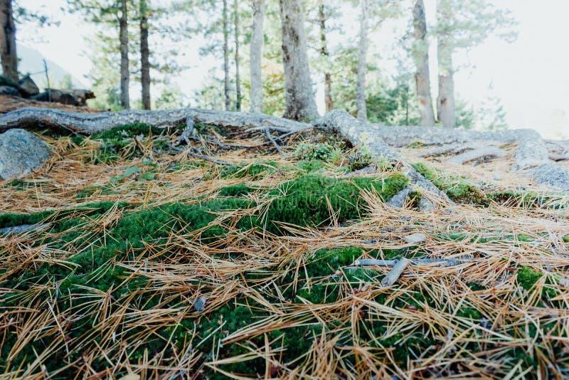 在一个绿色青苔的具球果针在雪松树丛里 免版税库存图片