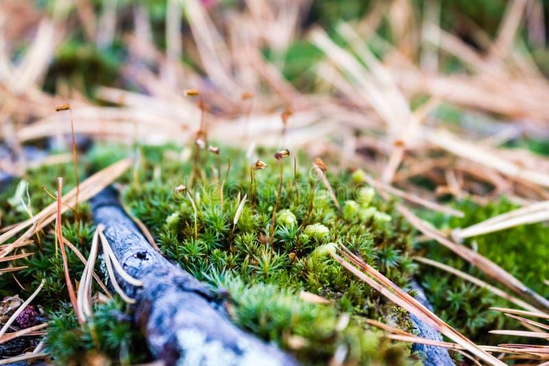 在一个绿色青苔的具球果针在雪松树丛里 免版税库存照片