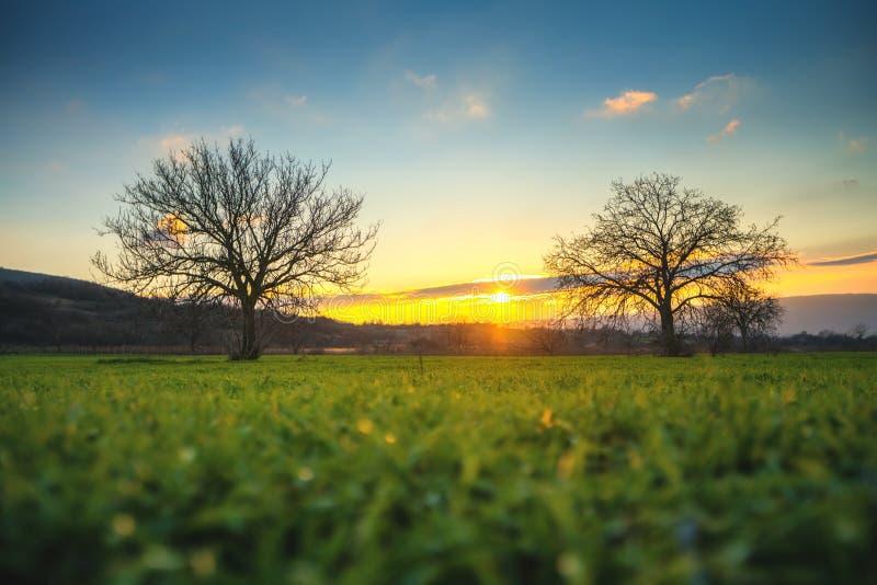 在一个绿色领域的偏僻的树在日落冬时 免版税库存图片