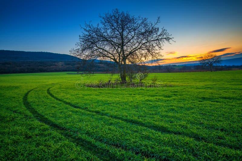 在一个绿色领域的偏僻的树在日落冬时 图库摄影