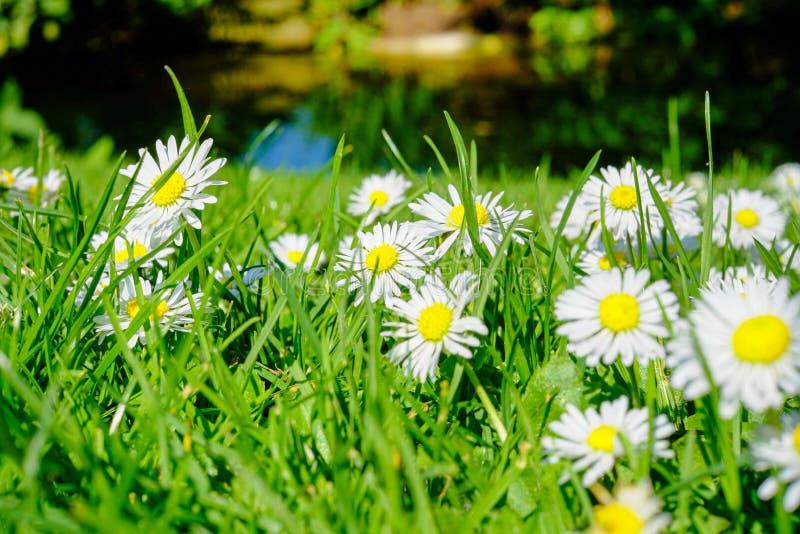 在一个绿色领域的共同的雏菊或艾里斯perennis 免版税库存照片