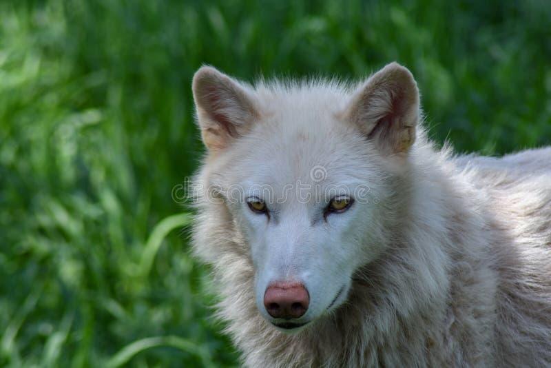 在一个绿色领域的北冰的狼 库存照片