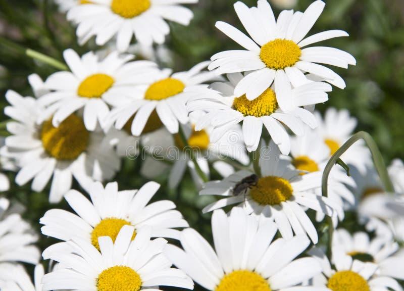 在一个绿色领域的很多雏菊, 库存照片