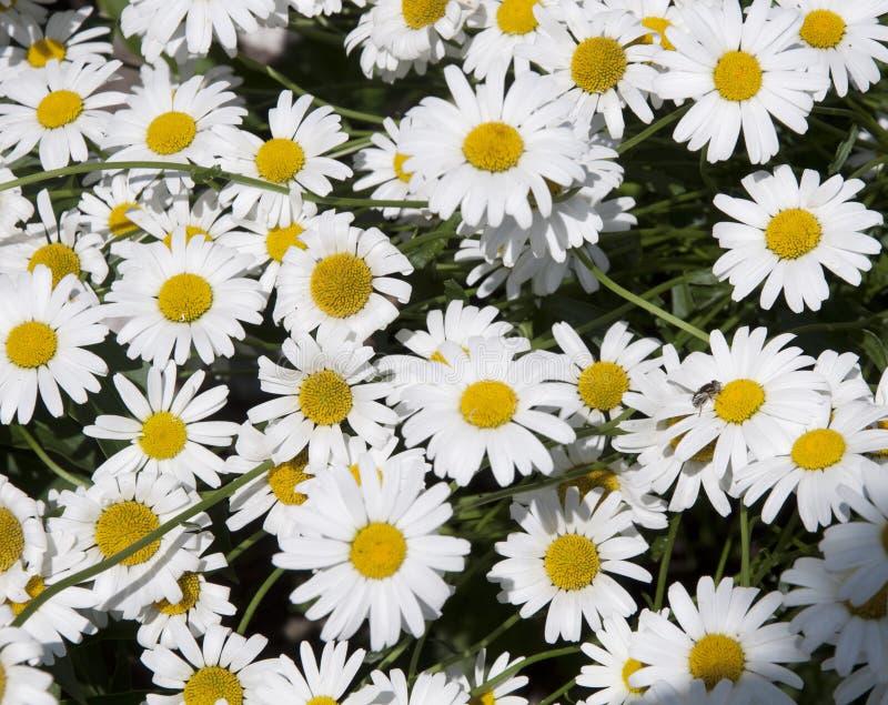 在一个绿色领域的很多雏菊 免版税库存照片