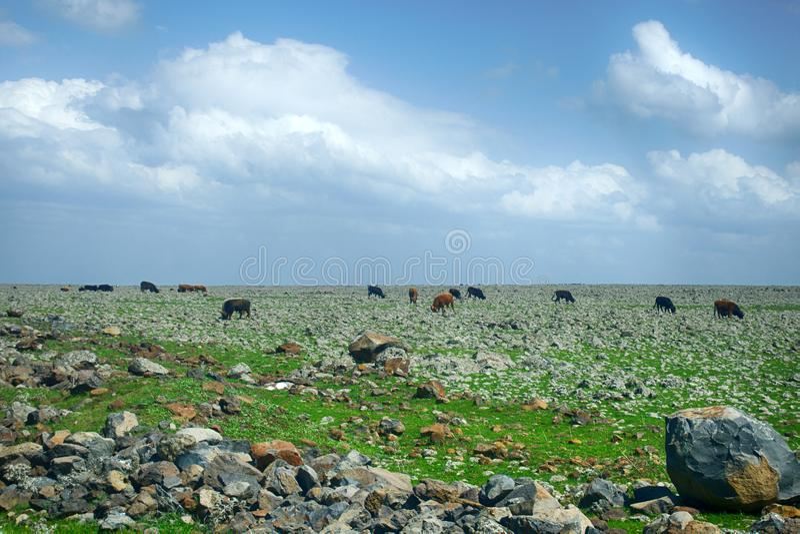 在一个绿色领域的母牛在春天 库存图片