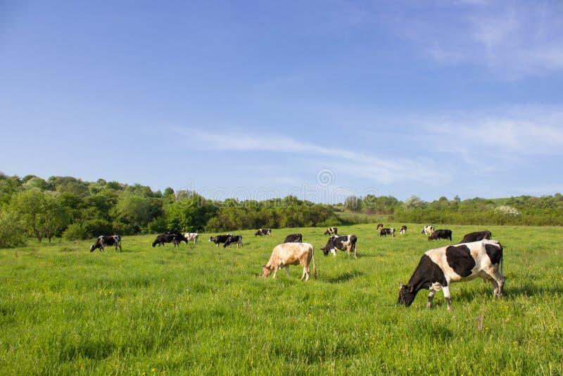 在一个绿色领域的母牛,吃草在母牛农夫的绿草,在领域的一个美好的母牛风景在夏天 免版税库存照片
