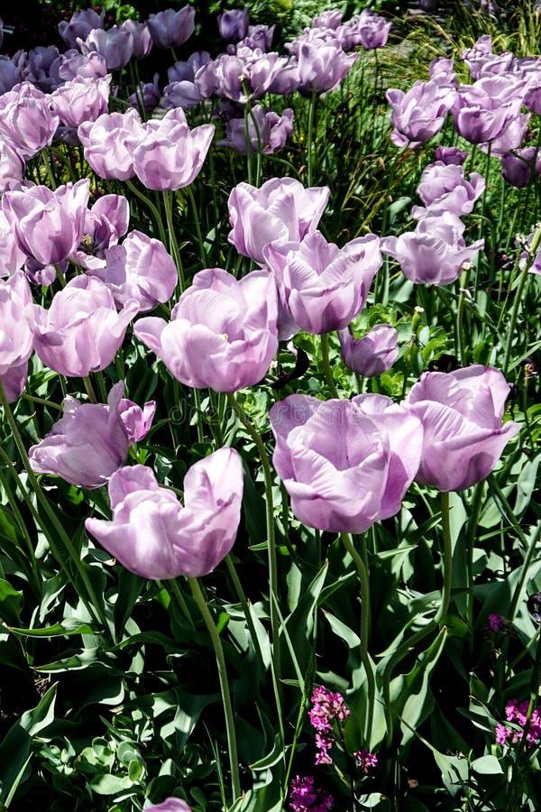 在一个绿色领域的紫色绽放 免版税库存照片