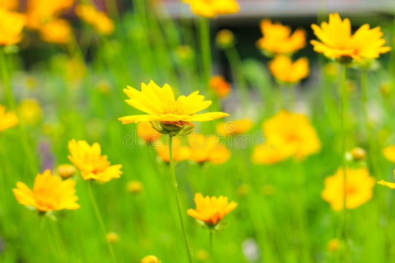 在一个绿色领域的黄色雏菊 免版税库存照片