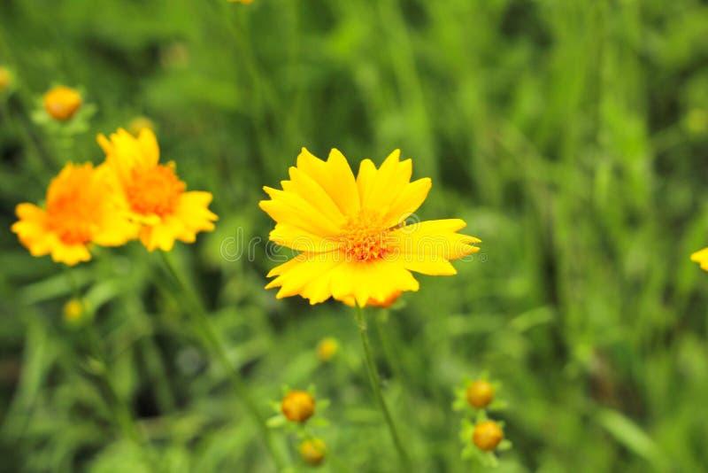 在一个绿色领域的黄色雏菊 图库摄影