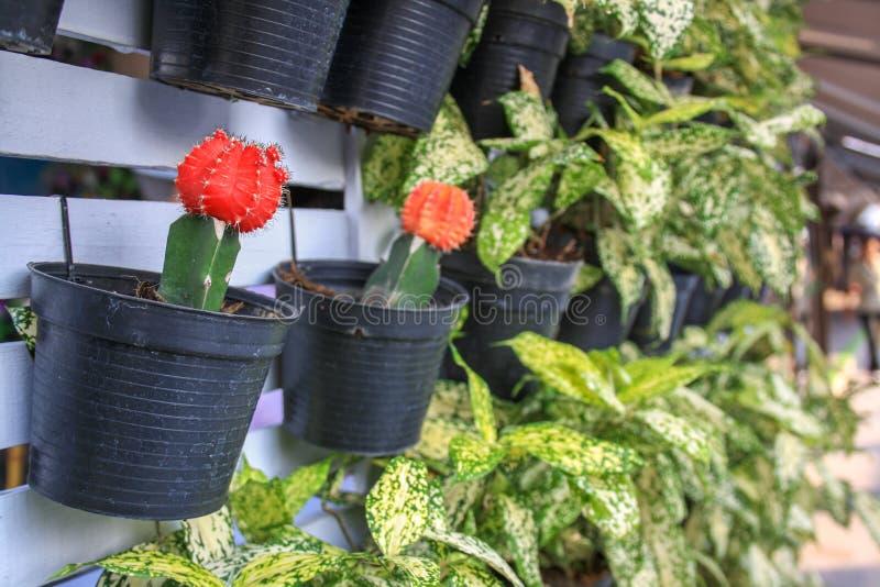 在一个罐的一个开花的仙人掌在花店 许多的仙人掌和附近其他的植物 库存图片