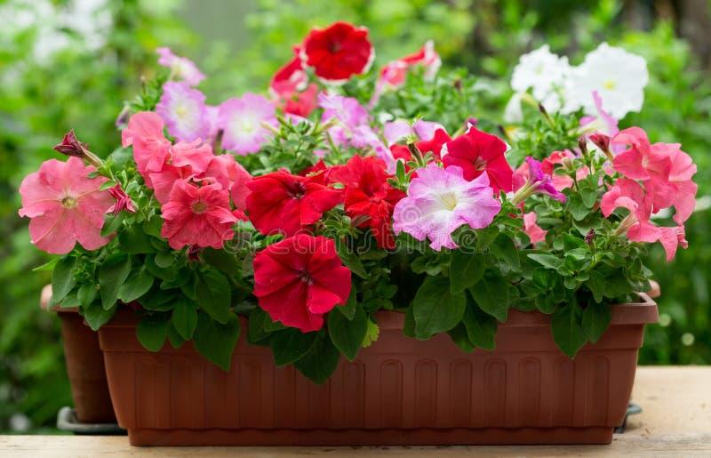 在一个罐的喇叭花花在庭院里 免版税库存图片