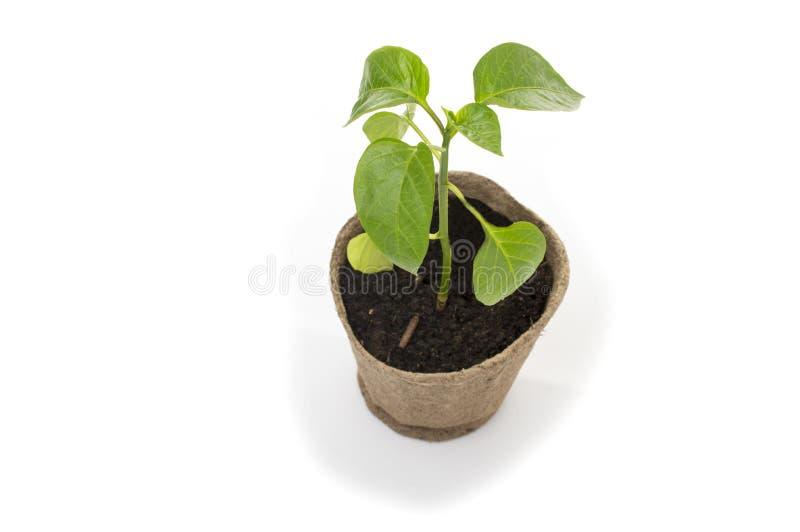 在一个罐的年轻甜椒幼木泥煤 库存照片