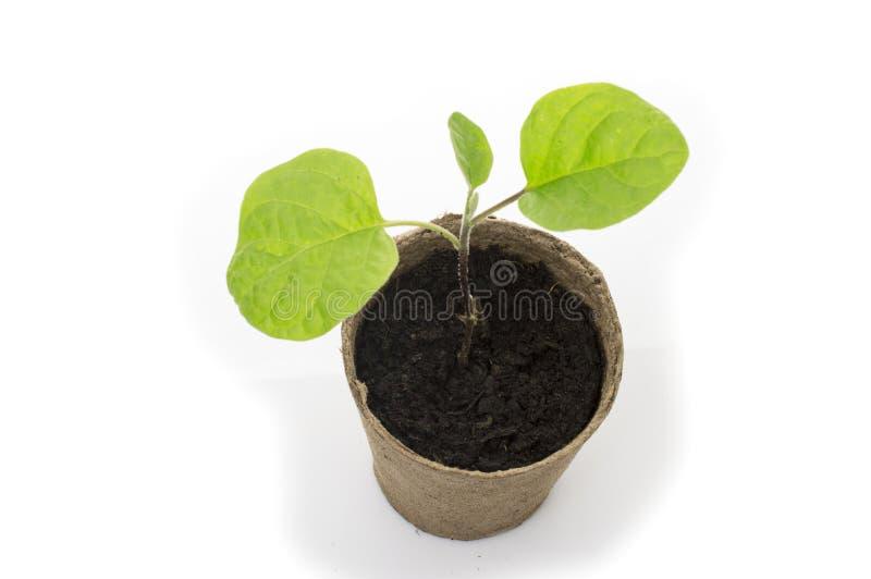 在一个罐的年轻茄子幼木有庭院修平刀的 免版税库存照片