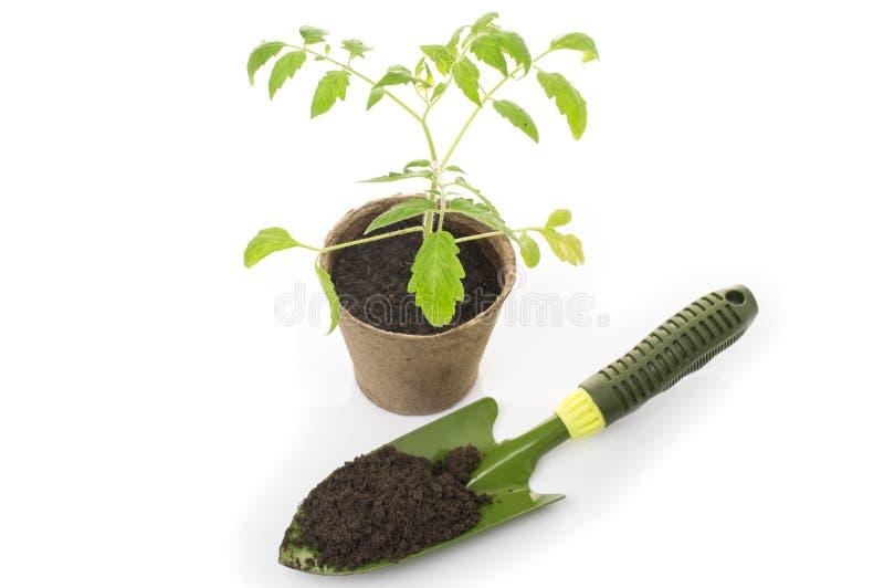 在一个罐的年轻蕃茄幼木有庭院修平刀的 库存图片