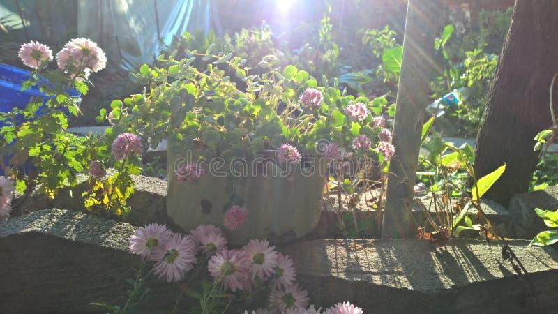 在一个罐的桃红色花在太阳下 免版税库存照片