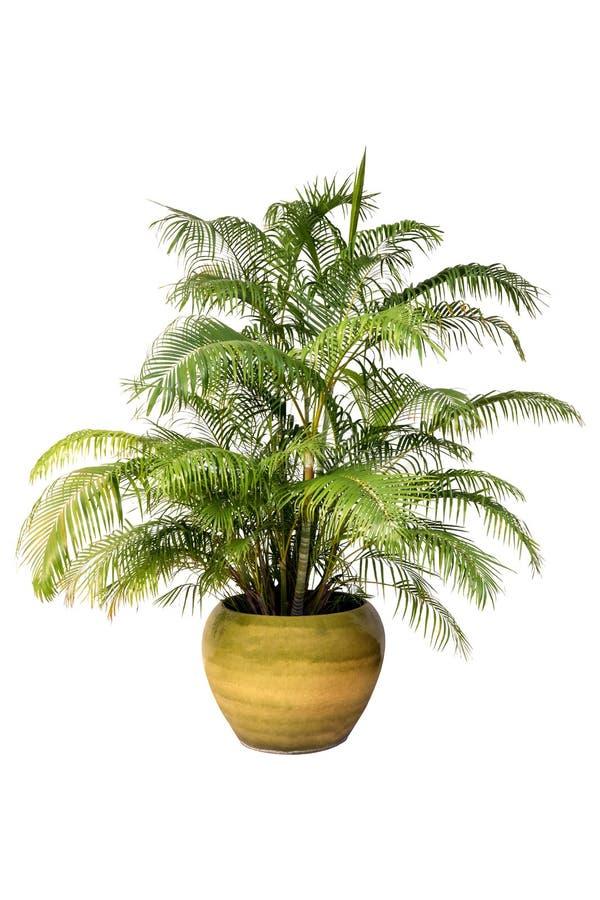 在一个罐的棕榈树在纯净的白色背景的一个花盆图表的 库存图片