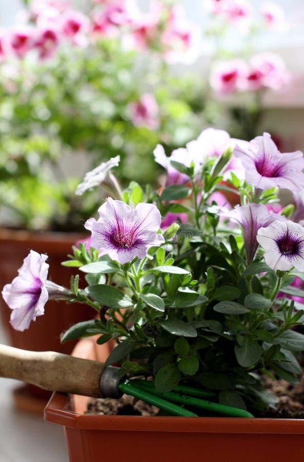 在一个罐的白色紫色喇叭花花在阳台 库存照片