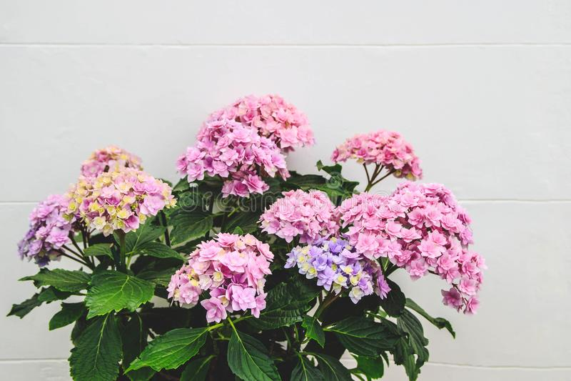 在一个罐的美丽的开花的八仙花属花在白色墙壁前面 库存图片