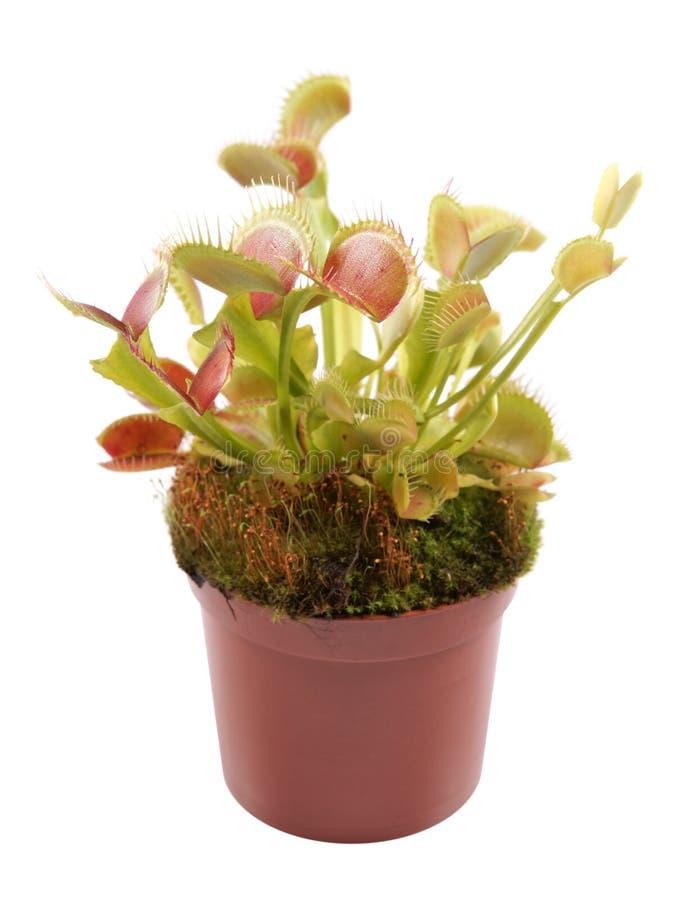 在一个罐的维纳斯捕蝇器Dionaea在白色背景 免版税库存照片