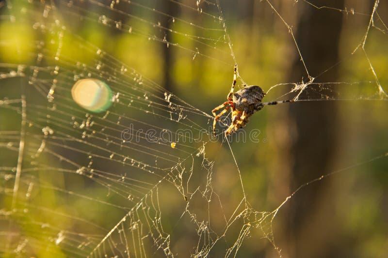 在一个网的蜘蛛在森林里 免版税图库摄影