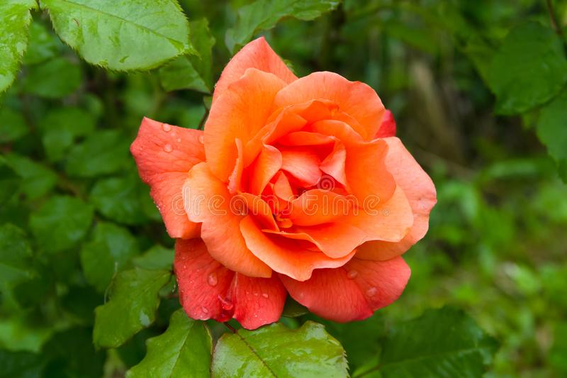 在一个美丽的桔子的瓣的雨珠在夏天庭院里上升了 库存图片