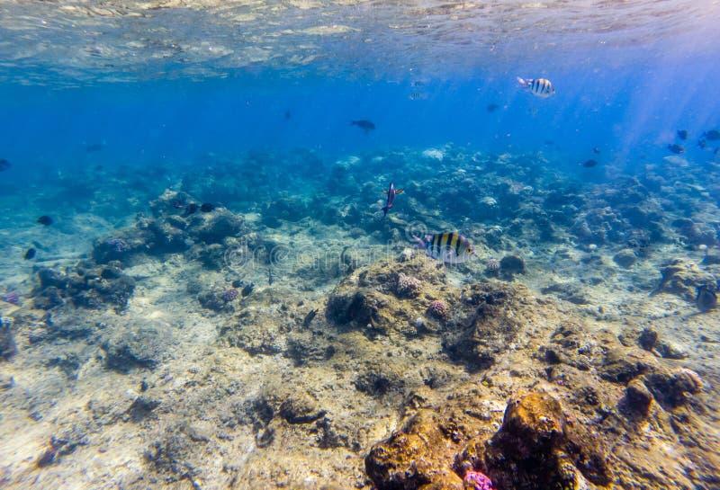 在一个美丽的珊瑚庭院的热带鱼在红海 库存照片