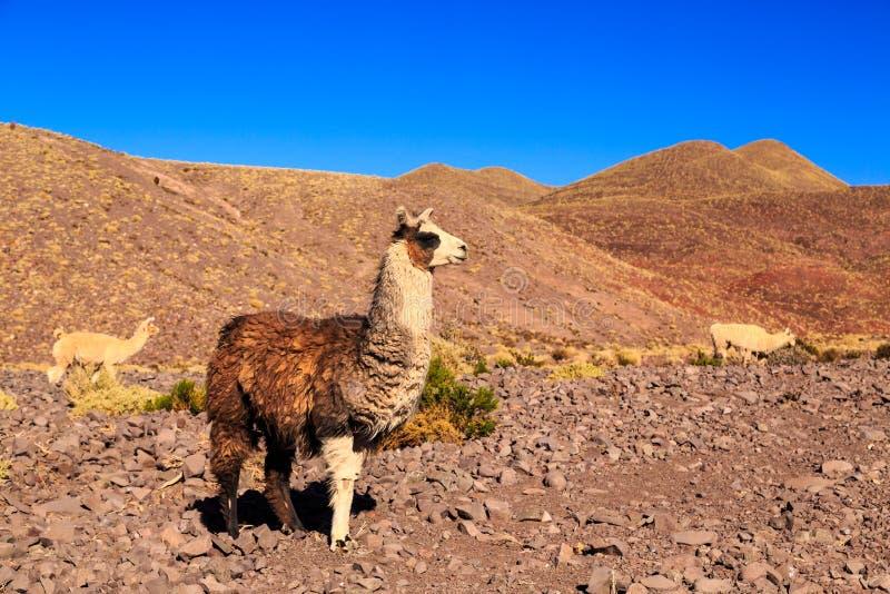 在一个美好的南美风景的喇嘛身分 库存图片