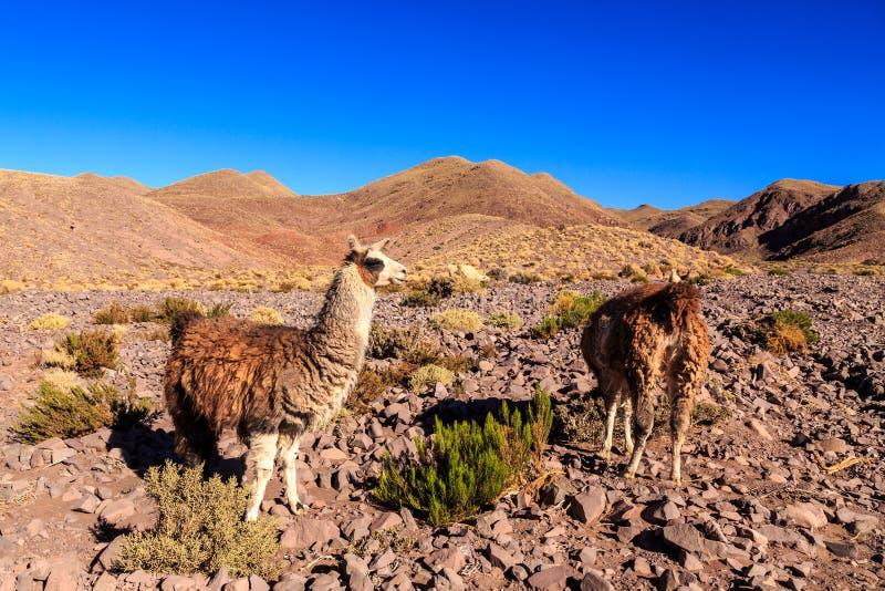 在一个美好的南美风景的喇嘛身分 免版税库存图片