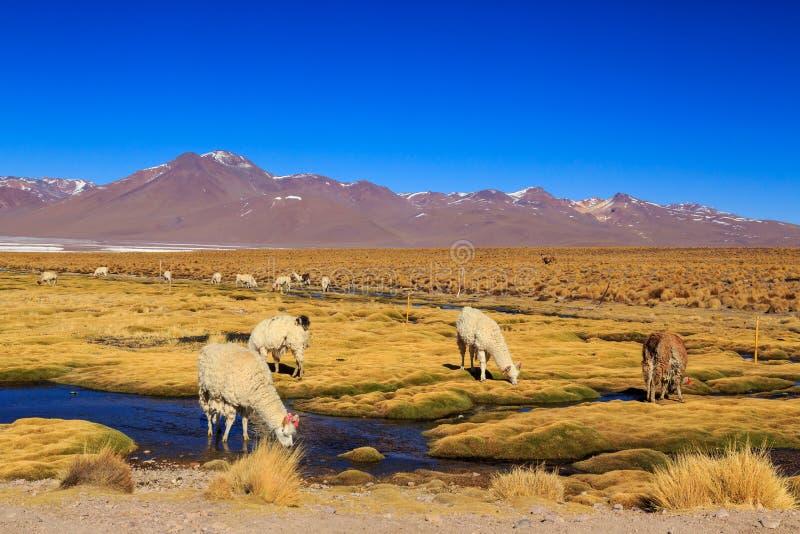 在一个美好的南美altiplano风景的喇嘛身分 图库摄影