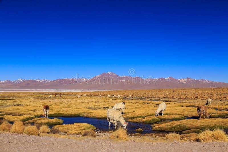 在一个美好的南美altiplano风景的喇嘛身分 库存图片