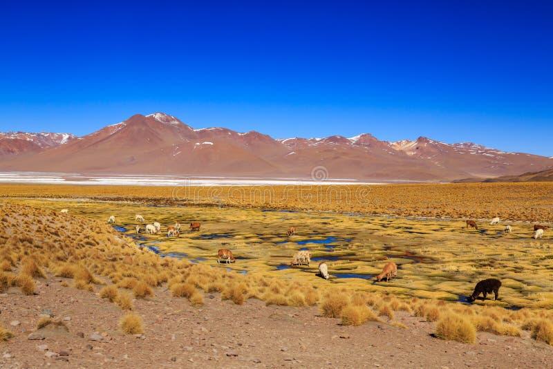 在一个美好的南美altiplano风景的喇嘛身分 免版税库存图片