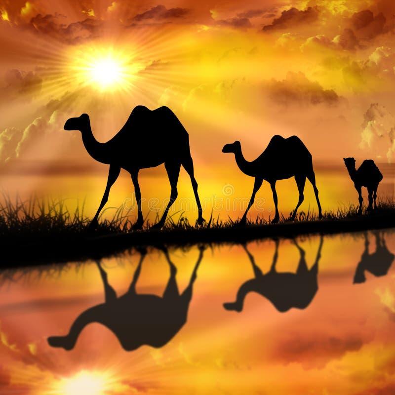 在一个美好的日落背景的骆驼 皇族释放例证