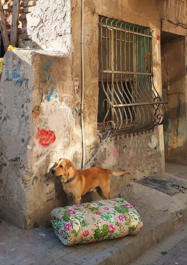 在一个老房子前面的被束缚的狗 库存图片