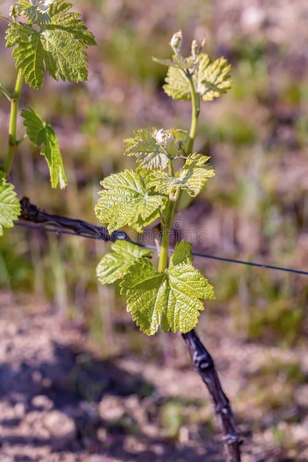 在一个老法国藤的年轻绿色叶子 藤春天 葡萄园农业在春天 免版税库存照片