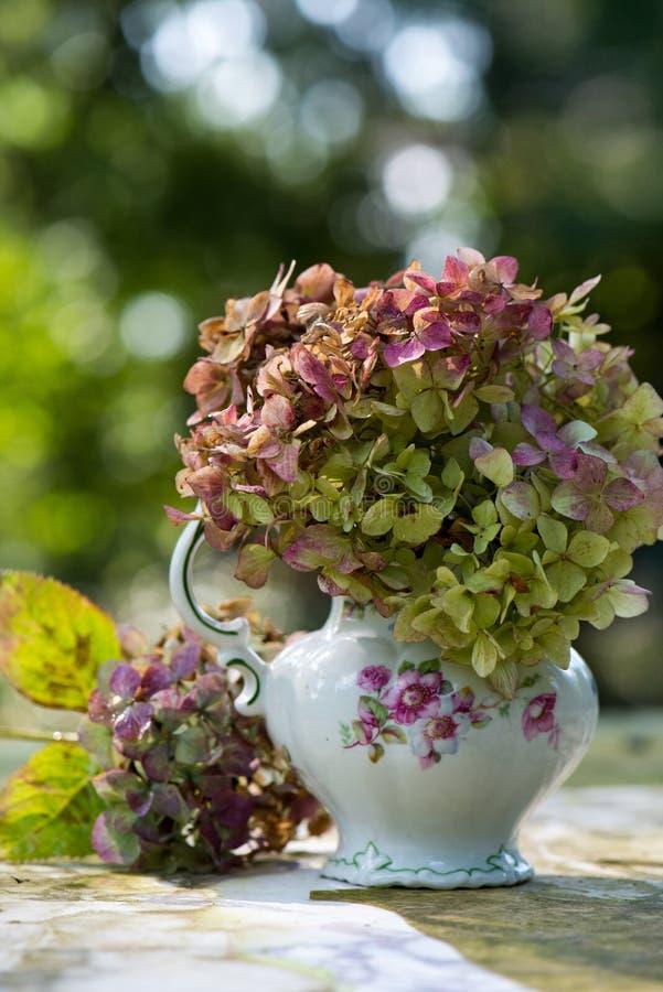 在一个老牛奶罐的八仙花属花 图库摄影