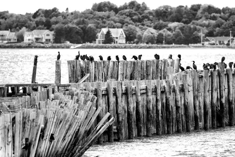 在一个老码头的鸬鹚 免版税库存图片
