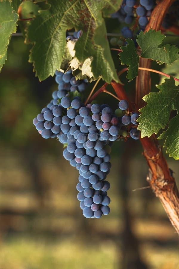 在一个老藤的成熟加伯奈葡萄酒葡萄 免版税库存照片