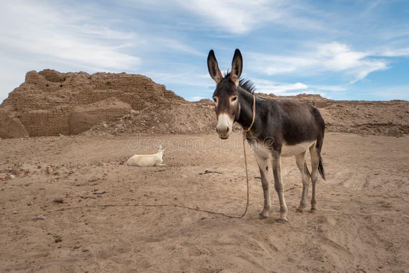 在一个考古学站点的驴在Abri附近的佐井海岛上在苏丹 库存图片
