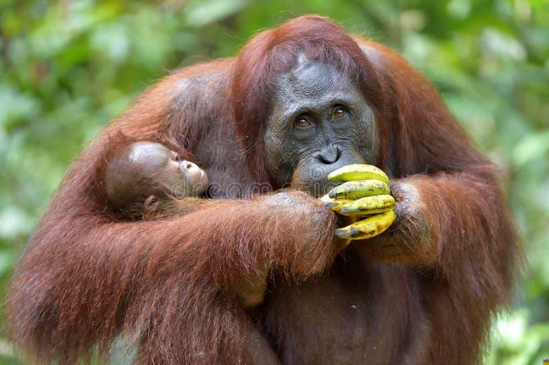 在一个自然生态环境照顾猩猩和崽 Bornean猩猩类人猿在狂放的自然的pygmaeus wurmmbii 库存图片