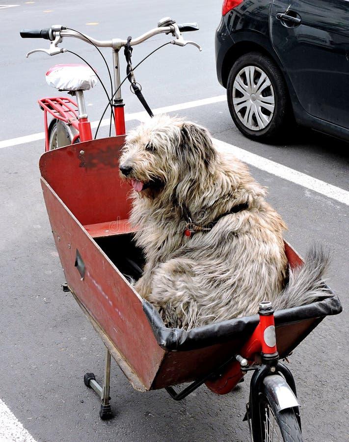 在一个自行车篮子的似犬货物在跟特,比利时 免版税图库摄影