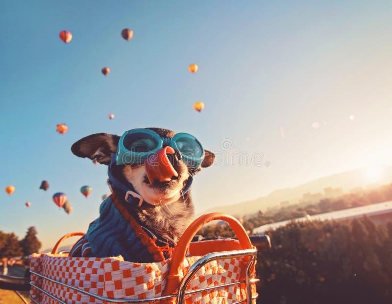 在一个自行车篮子的可爱的奇瓦瓦狗在一个热空气气球l 免版税库存图片