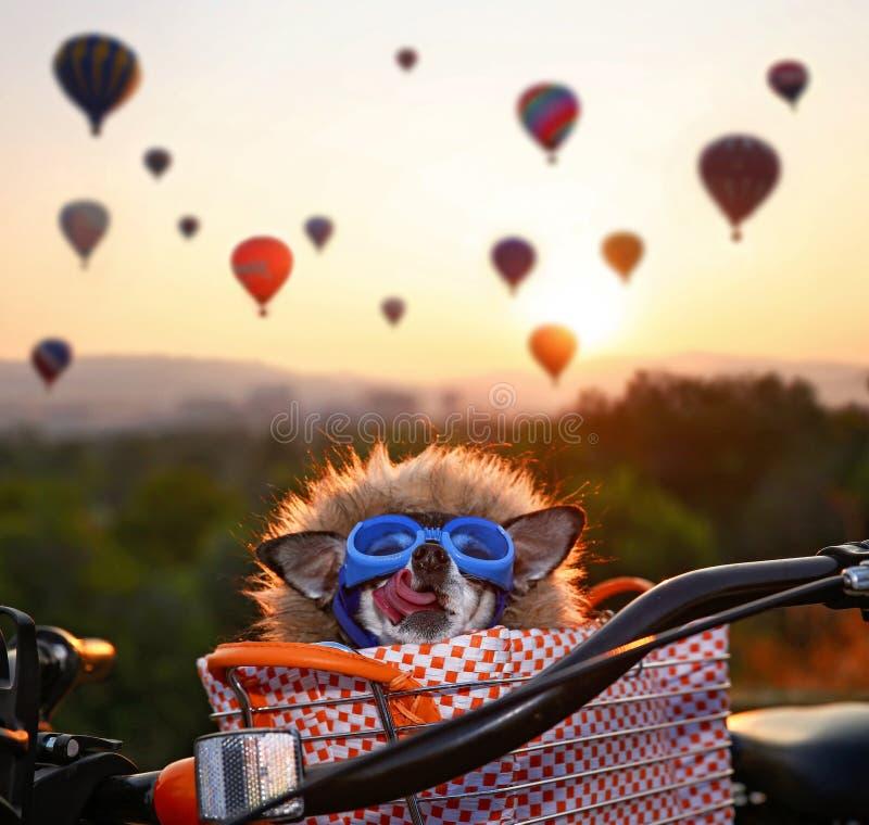 在一个自行车篮子的可爱的奇瓦瓦狗在一个热空气气球l 图库摄影